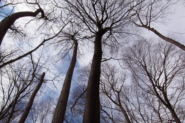 ash canopy